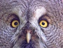 twarzy sowa Obraz Stock