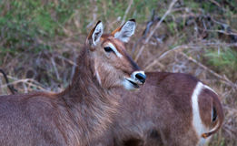 twarzy waterbuck Fotografia Royalty Free