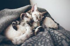 Twee aanbiddelijke en leuke Devon Rex-katten Royalty-vrije Stock Afbeeldingen