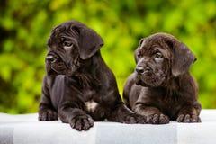Twee aanbiddelijke puppy Royalty-vrije Stock Afbeeldingen