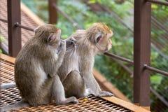 Twee aapzitting en één die vlo vinden stock fotografie