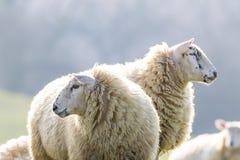 Twee achter aangestoken schapen die aan linkerzijde en recht staren Royalty-vrije Stock Afbeeldingen