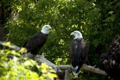 Twee adelaars die in bomen worden neergestreken stock afbeeldingen