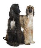 Twee Afghaanse honden, 1 en 2 jaar oud Royalty-vrije Stock Afbeelding