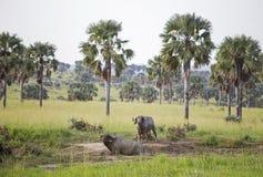 Twee Afrikaanse die Buffels in modder worden behandeld stock fotografie