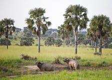 Twee Afrikaanse die Buffels in modder worden behandeld stock foto
