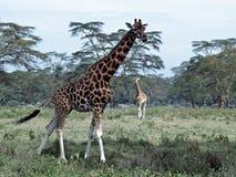 Twee Afrikaanse giraffen Royalty-vrije Stock Afbeeldingen