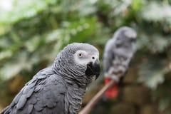 Twee Afrikaanse grijze papegaaien op tak, één dicht omhoog hoofdschot Royalty-vrije Stock Foto
