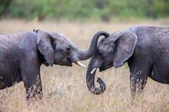 Twee Afrikaanse olifanten die elkaar met boomstammen en monden begroeten wat betreft Stock Afbeeldingen