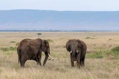Twee Afrikaanse olifanten die zich in de weiden Masai Mara, Kenia bevinden royalty-vrije stock foto