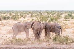 Twee Afrikaanse olifanten in een afstand houden met een andere het letten op Royalty-vrije Stock Afbeeldingen