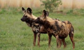 Twee Afrikaanse Wilde Honden op Wacht Stock Foto's