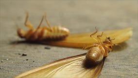 Twee alated termieten het gekantelde liggen op hun ruggen stock video