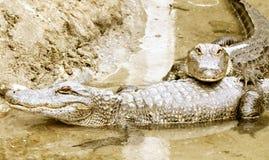 Twee Alligators in het water Stock Afbeeldingen