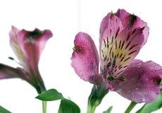 Twee alstroemeriabloemen Stock Afbeelding