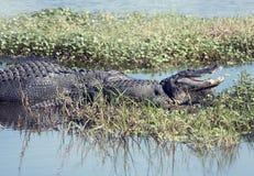 Twee Amerikaanse alligators royalty-vrije stock fotografie