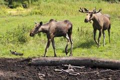 Twee Amerikaanse elanden Royalty-vrije Stock Afbeelding