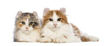 Twee Amerikaanse katjes van de Krul, 3 maanden oud die, die en de camera liggen bekijken Royalty-vrije Stock Afbeelding