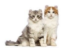 Twee Amerikaanse katjes van de Krul, 3 maanden oud, zitting en het bekijken de camera Stock Afbeelding