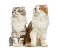 Twee Amerikaanse katjes van de Krul, 3 maanden oud, zitting en omhoog het kijken Royalty-vrije Stock Afbeelding
