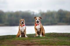 Twee Amerikaanse staffordshire terriërhonden die in openlucht stellen royalty-vrije stock afbeeldingen