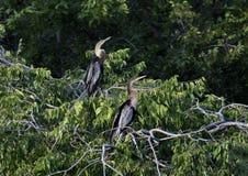 Twee Anhinga-wijfjes in treetop stock foto's