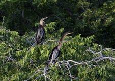Twee Anhinga-wijfjes in treetop stock foto
