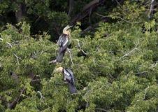 Twee Anhinga-wijfjes in treetop royalty-vrije stock fotografie