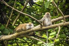 Twee apen Royalty-vrije Stock Afbeeldingen