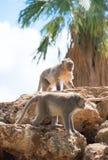 Twee apen Stock Afbeelding