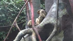Twee apen die op een boomtak zitten stock footage