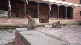 Twee Apen die Rijstkorrels in Hindoese Tempel in Nepal eten stock video