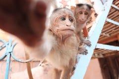 Twee apen en hand Stock Foto's