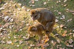 Twee apen Macaca Sylvanus Royalty-vrije Stock Afbeeldingen