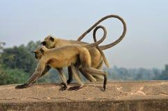 Twee apen op de brug Stock Foto's