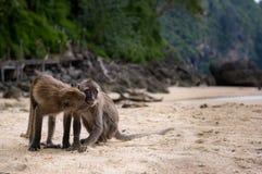 Twee Apen op een Strand Royalty-vrije Stock Fotografie