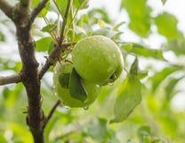 Twee appelen op een tak Stock Afbeeldingen