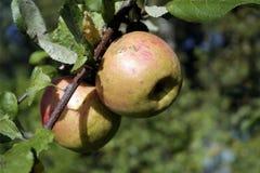 Twee appelen op een tak op een zonnige dag Stock Foto