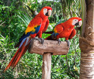 Twee Ara's Colorfuls Royalty-vrije Stock Foto's