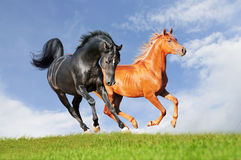 Twee Arabische paarden Stock Afbeelding