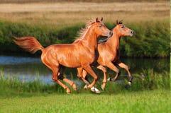 Twee Arabische paarden stellen vrij in werking Royalty-vrije Stock Afbeeldingen