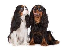Twee Arrogante honden van Charles Spaniel van de Koning Stock Afbeeldingen