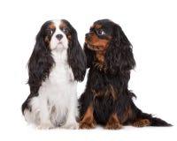 Twee Arrogante honden van Charles Spaniel van de Koning Royalty-vrije Stock Afbeelding