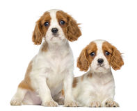 Twee Arrogante Koning Charles Puppies, 2 maanden oud, zitting en het liggen stock afbeelding