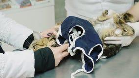Twee artsen onderzoeken de kat na de verrichting stock video