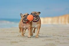 Twee atletische bruine Franse Buldoghonden die fetchwith bal spelen bij het strand met maritieme halsbanden stock afbeeldingen