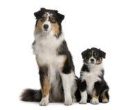 Twee Australische honden van de Herder, het zitten Stock Foto