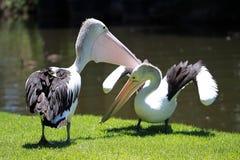 Twee Australische Pelikanen die voor grondgebied vechten Stock Afbeeldingen