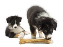 Twee Australische puppy van de Herder, 2 maanden oud Royalty-vrije Stock Afbeeldingen