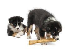 Twee Australische puppy van de Herder, 2 maanden oud Royalty-vrije Stock Foto